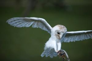 Arden Owls (5)